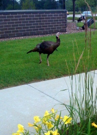 The turkey that guards the employee entrance at work. Not kidding.