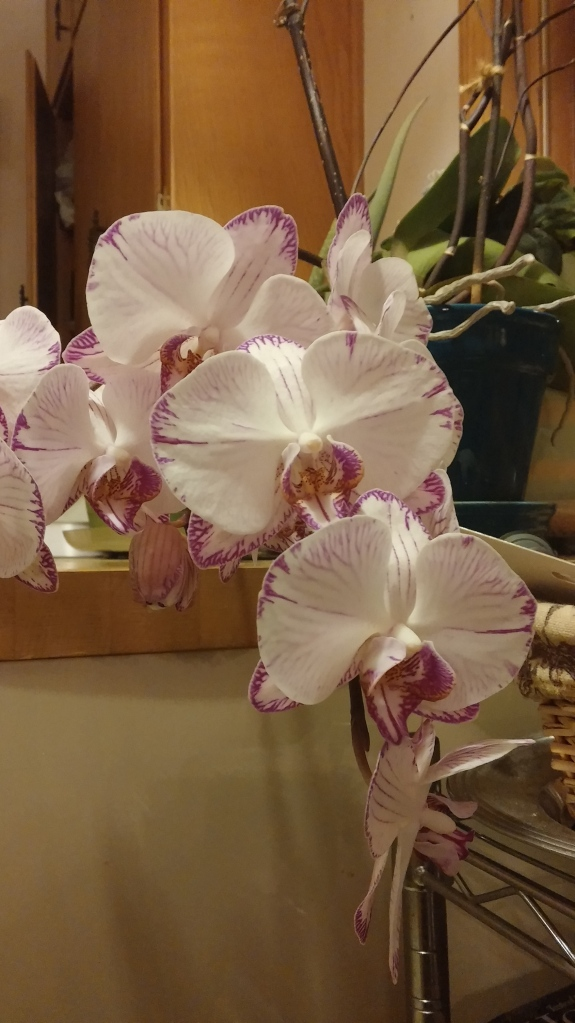 These orchids have defied my expectations - mostly because they thrive on my neglect!